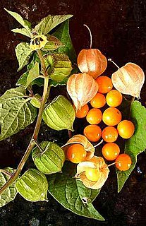 <i>Physalis peruviana</i> Species of cultivated South American fruit