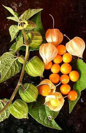 Physalis peruviana - Cape gooseberry flower