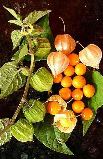 Physalis peruviana - Cape gooseberries, some within a calyx