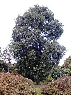 <i>Ulmus minor</i> Umbraculifera Gracilis Elm cultivar