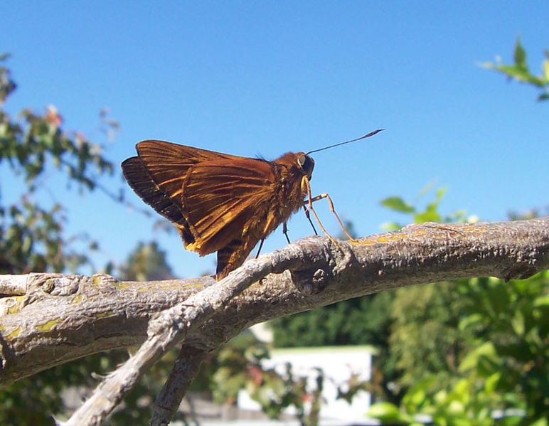 Ficheiro:Unident mothorbutterfly.jpg