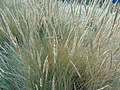 Unidentified Poaceae.002 - Mañon.jpg