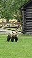 Ursus arctos horribilis - Shoshone National Forest - September 2017 01.jpg