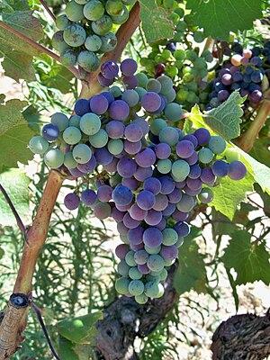 Français : Véraison : état où le raisin commen...