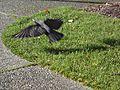 Vancouver-Birds-Crow2.jpg