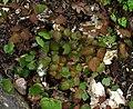 Vancouveria hexandra new foliage.jpg