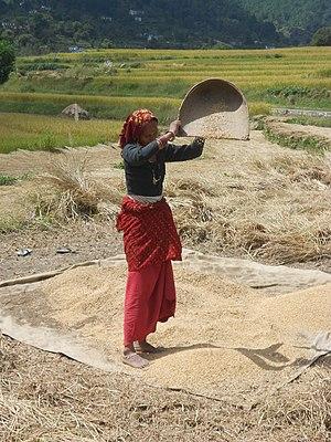 Economy of Uttarakhand - A lady winnowing rice, an important food crop in Uttarakhand.