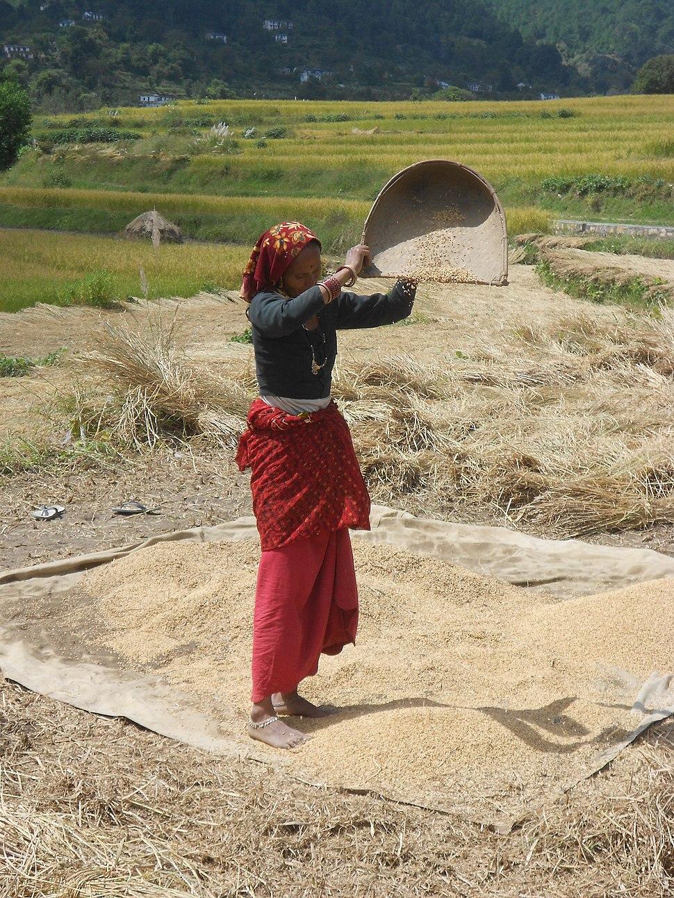 Vannage du riz, Uttarakhand, India