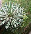 Variegated Caribbean Agave (Agave angustifolia 'Marginata') 1.jpg