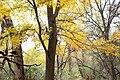 Velvet Ash Tree Patagonia Lake SP Patagonia AZ 2018-11-22 12-18-59 (45956624632).jpg