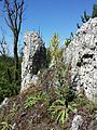 Verbascum lychnitis sl1.jpg