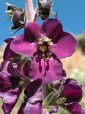 Flora of Turkey - Verbascum wiedemannianum: this showy Mullein is a typical component of the central Anatolian steppe. Like most of the Turkish Verbascum-species it is endemic to Anatolia.