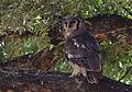 Verreaux's eagle-owl, or giant eagle owl, Bubo lacteus eating a snake at Pafuri, Kruger National Park, South Africa (20659033816).jpg