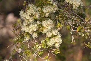 <i>Verticordia verticillata</i> Species of flowering plant