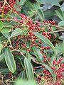 Viburnum henryi fruit - Flickr - peganum.jpg
