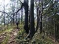 Vihorlatské vrchy, cesta z Troch tablov na Jedlinku (3).jpg
