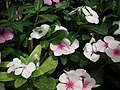 Vinca Rosea from Lalbagh flower show Aug 2013 8016.JPG
