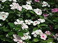 Vinca Rosea from Lalbagh flower show Aug 2013 8018.JPG