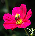 Vincent.limshowchen - Bee and flower (by-sa).jpg