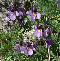 Viola beckwithii 2.jpg