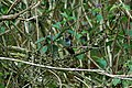 Violet-headed Hummingbird (Klais guimeti) 2015-06-14 (1) (40283795752).jpg