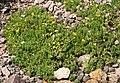 Vitaliana primuliflora 01.jpg