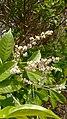 Vitex altissima (peacock chaste tree)മയിലെള്ള്, മയില. Flower .jpg