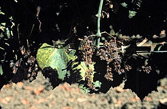 "Plant pathology - Vitis vinifera with ""Ca. Phytoplasma vitis"" infection"