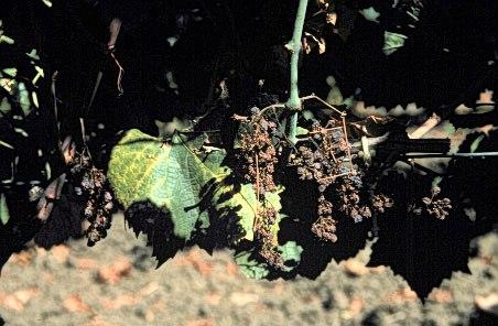 Vitis vinifera phytoplasma