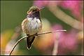 Volcano Hummingbird (Selasphorus flammula) landing.jpg