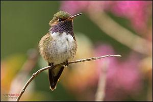 Volcano hummingbird - Image: Volcano Hummingbird (Selasphorus flammula) landing