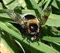 Volucella bombylans (male) - Flickr - S. Rae (1).jpg