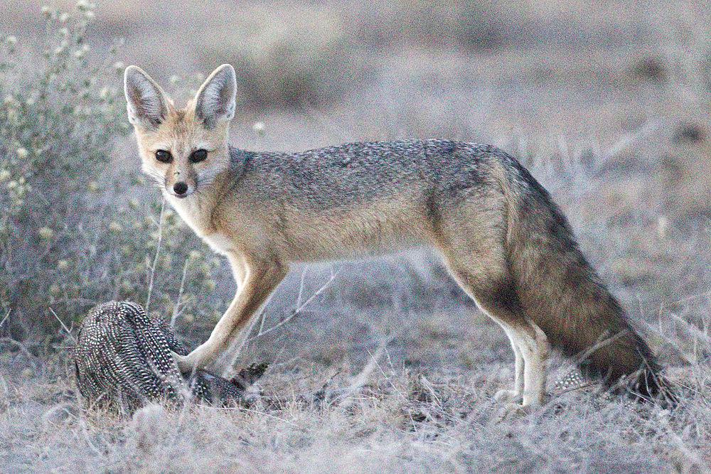 The average litter size of a Cape fox is 2