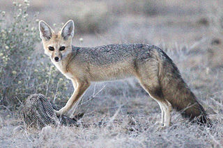 Cape fox species of mammal