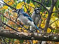 Wade Lagoon Blue Jays (22561175945).jpg