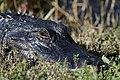 Watchful Alligator (6743023761).jpg