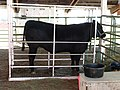 Weighing cattle - Wasco County Fair 2014.jpg