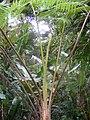 West Indian Tree Fern Cyathea arborea on St Lucia.jpg