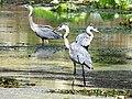 Westcoast Birds - panoramio.jpg