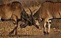 Western Derby Eland (Taurotragus derbianus derbianus) 5.jpg