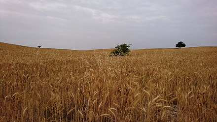 Wheat farm in Behbahan, Iran Wheat Farm in Behbahan, Iran.jpg