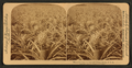 Where the luscious pineapple grows, Florida, U.S.A, from Robert N. Dennis collection of stereoscopic views 2.png