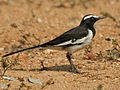 White-browed Wagtail (Motacilla madaraspatensis) in Hyderabad W IMG 4376.jpg