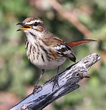 White-browed scrub robin, Cercotrichas leucophrys at Mapungubwe National Park, Limpopo, South Africa (17816564679), crop.jpg