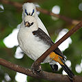 White-headed Buffalo-weaver Dinemellia dinemelli 2000px fringing lessened.jpg