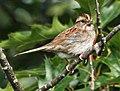 White-throated Sparrow RWD.jpg