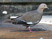 White-wnged Dove (Zenaida asiatica) RWD