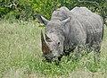White Rhino (Ceratotherium simum) male grazing ... (32528681847).jpg