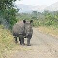 White Rhinoceros (2874382021).jpg