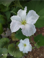 White pumpkin flower.png